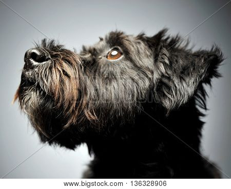 mixed breed wired hair dog portrait in studio