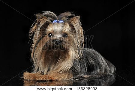 Lovely Yorkshire Terrier Relaxing In A Studio Background