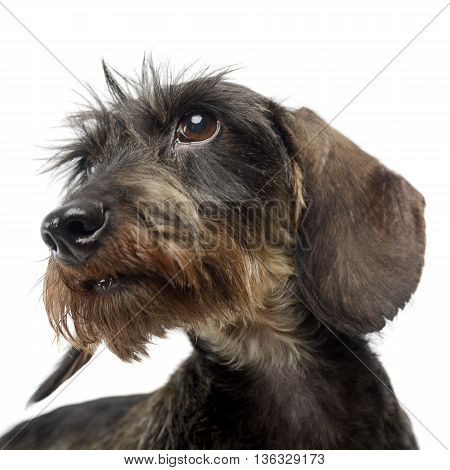 Dachshund In A White Isolated Background