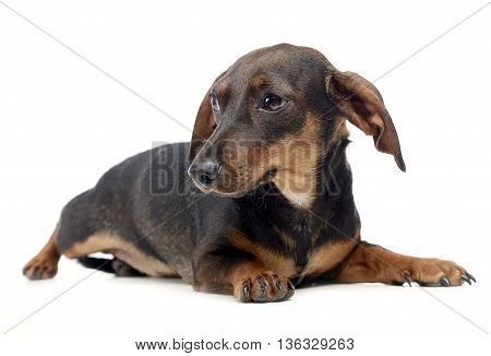 Dachshund relaxing in a white isolated background