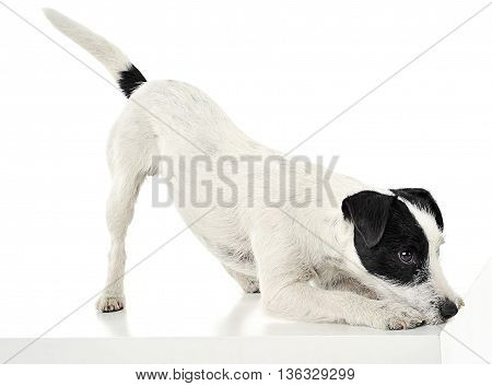 Parson Russell Terrier Call To Play  In The White Photo Studio