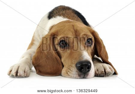 Beagle relaxing in the white studio background