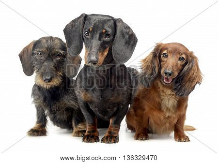 Smoot Hair A Wired Hair And A Long Hair Dachshund In A White Isolated Background