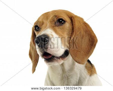 Beagle portrait in the whiten studio background