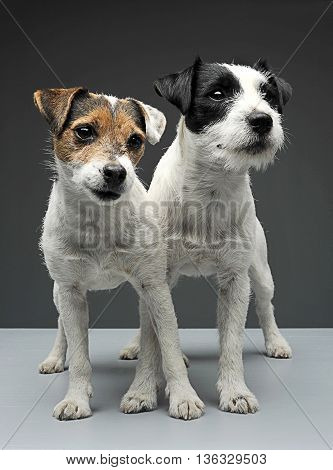 Two Parson Russell Terriers Staying With Cross Legs In The Gray Photo Studio