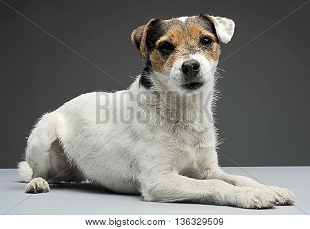 Parson Russell Terrier Lying With In The Gray Photo Studio