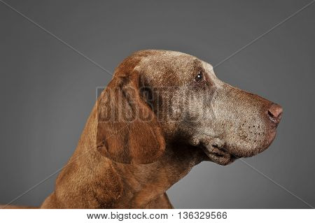 Very Old Hungarian Vizsla In A Photo Studio