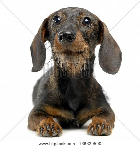 Funny Dachshund In A White Isolated Background
