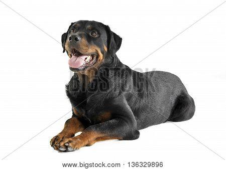 very nice rottweiler lying in the white studio floor