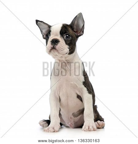 Puppy Boston Terrier In A White Photo Studio