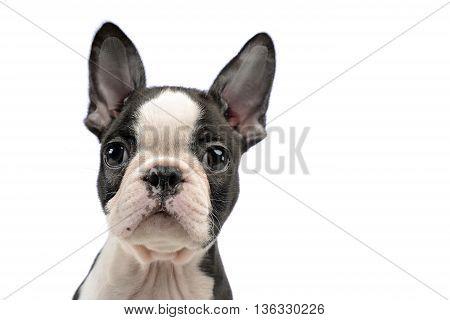 Puppy Boston Terrier Portrait In A White Photo Studio