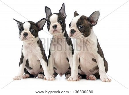 Three Puppy Boston Terrier In A White Photo Studio