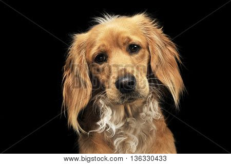 Mixed Breed Brown Funny Dog In A Dark Studio