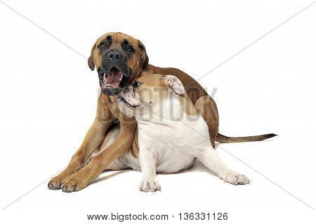 Funny English Bulldog Play With A Puppy Bull Mastiff The Photo Studio