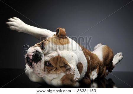 English Bulldoghaving Fun In A Gray Photo Studio