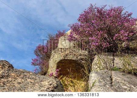 Beautiful shrubs and flowers of purple rhododendron growing on large rocks in the mountains against the blue sky and clouds