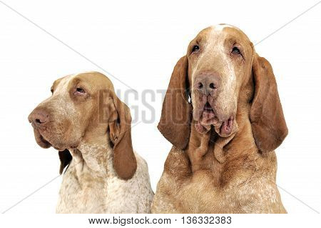 Group Of Bracco Italiano Feeling Good In A White Photo Studio