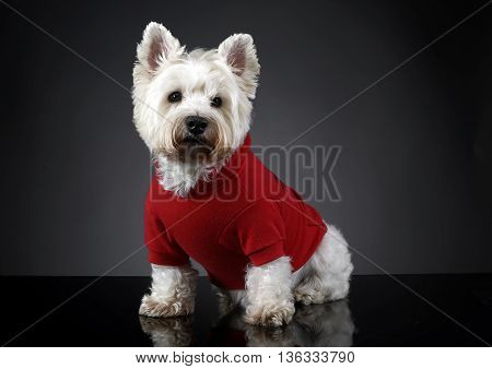 West Highland White Terrier Posing In A Photo Studio