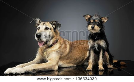 Two Mixed Breed Wired Hair Dogs Are Having Fun In Studio