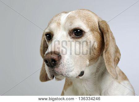 sad beagle portrait in a gray studio background
