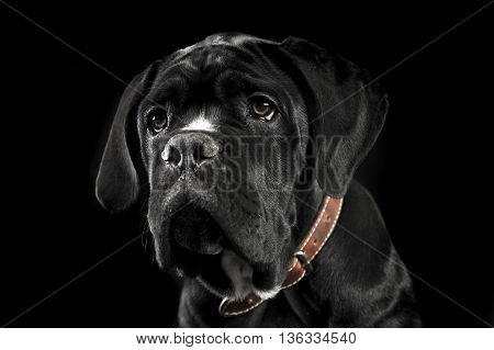 Puppy black cane corso portrait in a black photo studio
