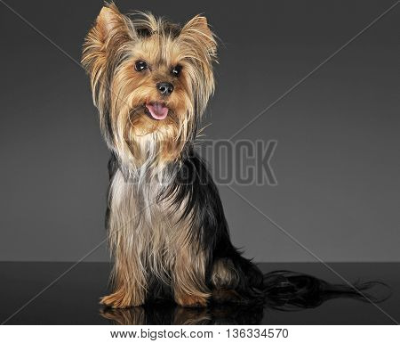 cute yorkshire terrier posing in a photo studio