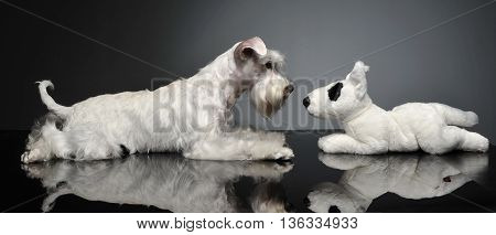 Sweet White Miniature Schnauzer In The Grey Photo Studio
