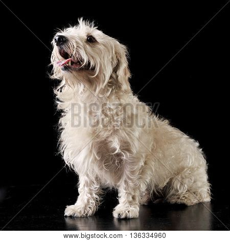 Mixed Breed White Dog Sit In The Dark Photo Studio