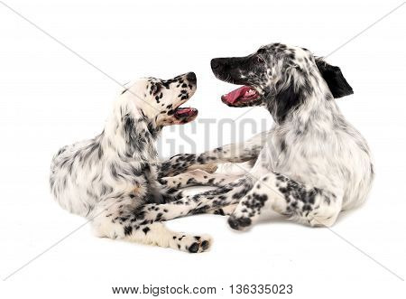 Two English Setters In A White Photo Background