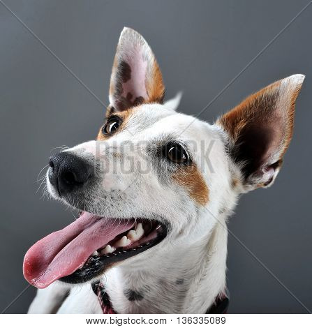 Mixed Breed Happy Dog Portrait In Grey Background