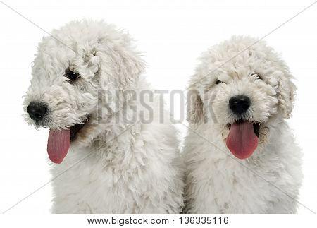 Two Puppy Komondors Portait In White Studio