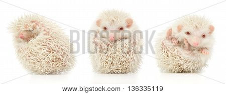 White Albino Hedgehog Trio In White Studio