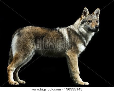 Czech Wolf Standard In Black Studio Background