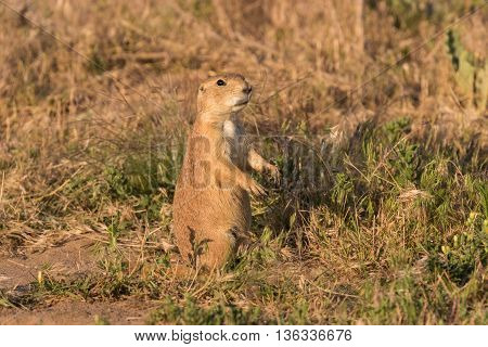 a cute prairie dog standing on alert