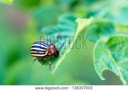 Colorado beetle on a potato leaf. Photo closeup. Shallow depth of field