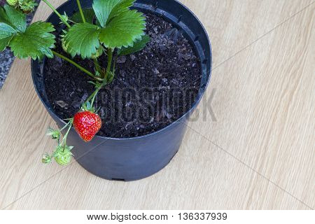 Strawberry fruit growing in plant pot - with text / copy space.