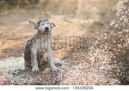 Close up cute siberian husky puppy bathing outdoors