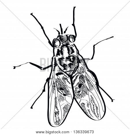 Vector fly insect hand drawn on a background. EPS