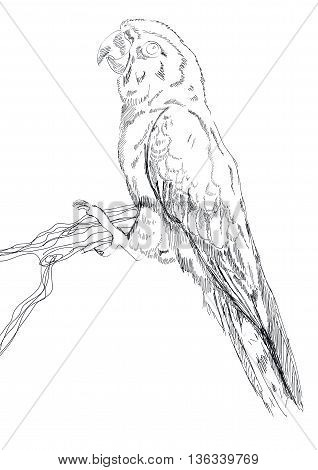 Black and white vector sketch of a Macaw Parrot.