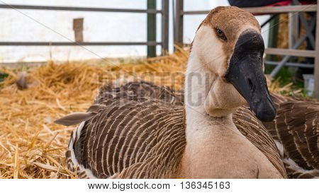 very rare African goose resting on straw, this species of bird is classified as endangered