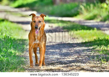Panting brown dog stands on unpaved road.