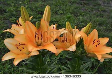 blooming orange lilies planted in a flower garden