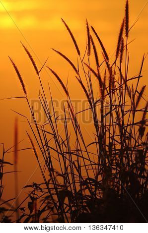 sunrise and grass in the moring silhouette