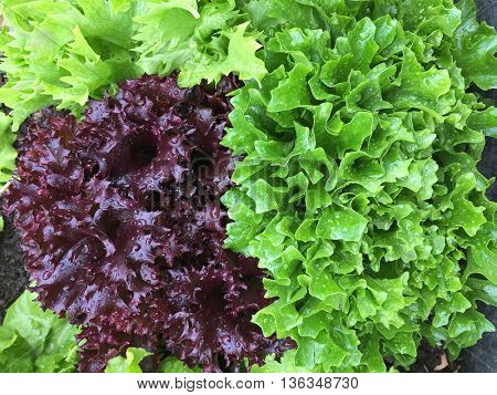 Closeup of home grown curly lettuce in purple color and other fresh salad leaves with wet foliage in the garden