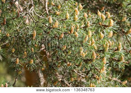 Closeup of European Black pine tree with small cones during summer in Austria