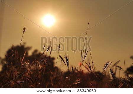 the sunrise and grass in the moring