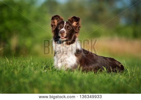 border collie dog lying down on a field