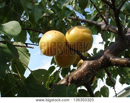 Three apricot fruits on a branch tree.