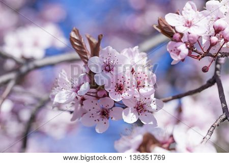 Spring Cherry Blossoms, Pink Flowers.