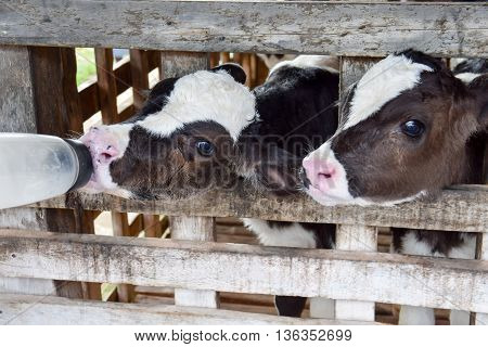 Milk feeding of a calf. animal, calf, dairy, feeding